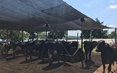 Qual importância de um controle climático para o gado?