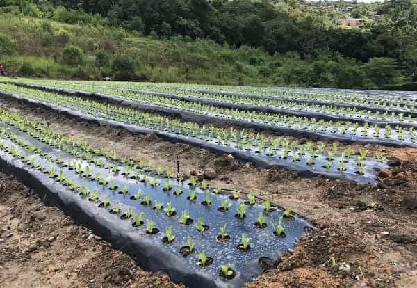 cultivo protegido por mulching | Nortène Plásticos