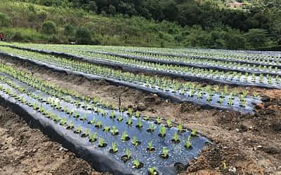 Saiba qual a importância de um cultivo protegido por mulching
